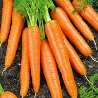 Морковь Вероника 1 гр.