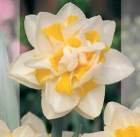 Нарцисс Грейт Лип цена за 1 шт. при наличии в розничном магазине ПОИСК